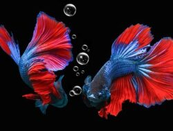 Selebritas Ini Adu Mahal Ikan Cupang hingga Puluhan Juta