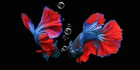 Selebritas Ikan Cupang