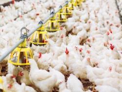 Peternak Somasi Kementan, DPP Pinsar Tegaskan Dukung Keseimbangan Supply and Demand Ayam
